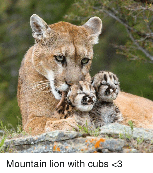 Lioness Holding Cub In Its Mouth Kontraband