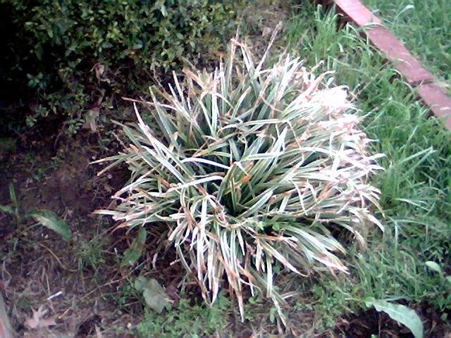 Plantfiles Pictures Liriope Variegated Lily Turf