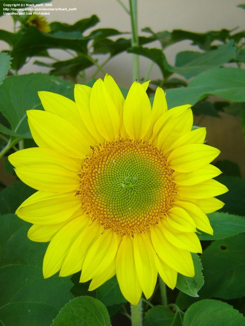 Plantfiles Pictures Helianthus Species And Hybrids