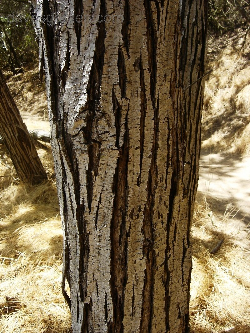 Plantfiles Pictures Southern California Black Walnut