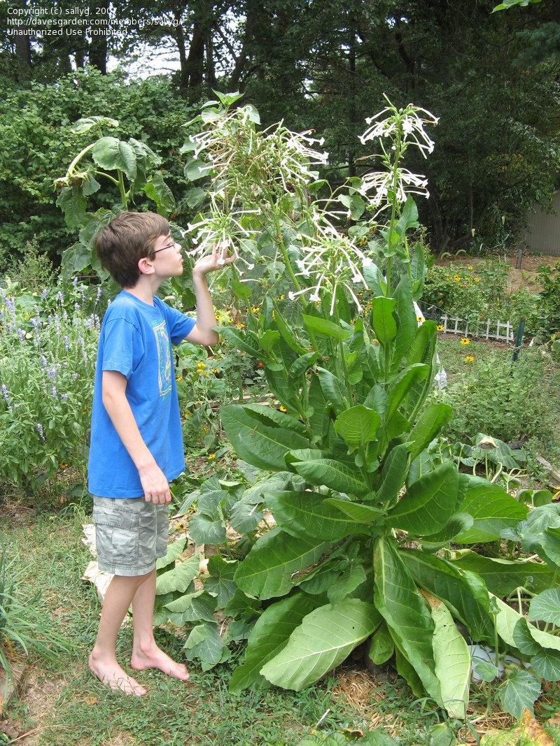 Imekena aialill - Nicotiana sylvestris