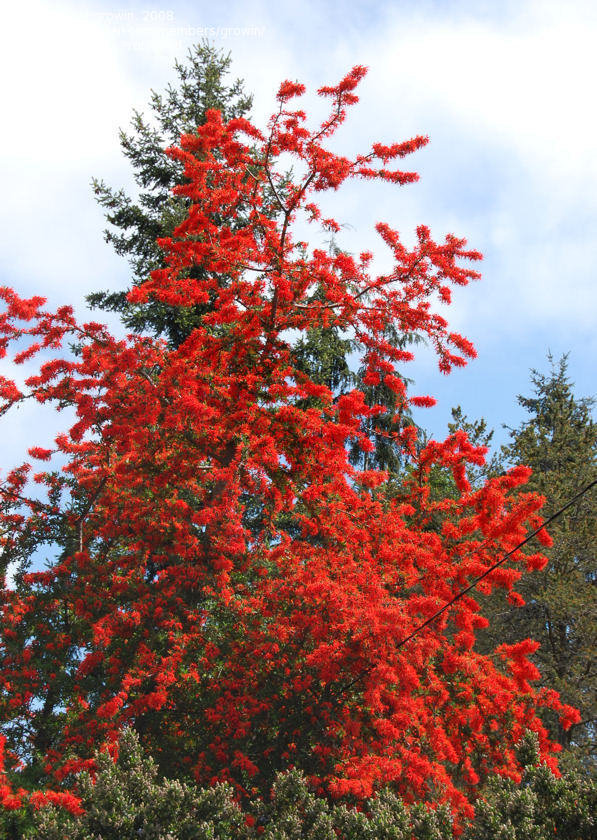 Image result for chilean fire tree