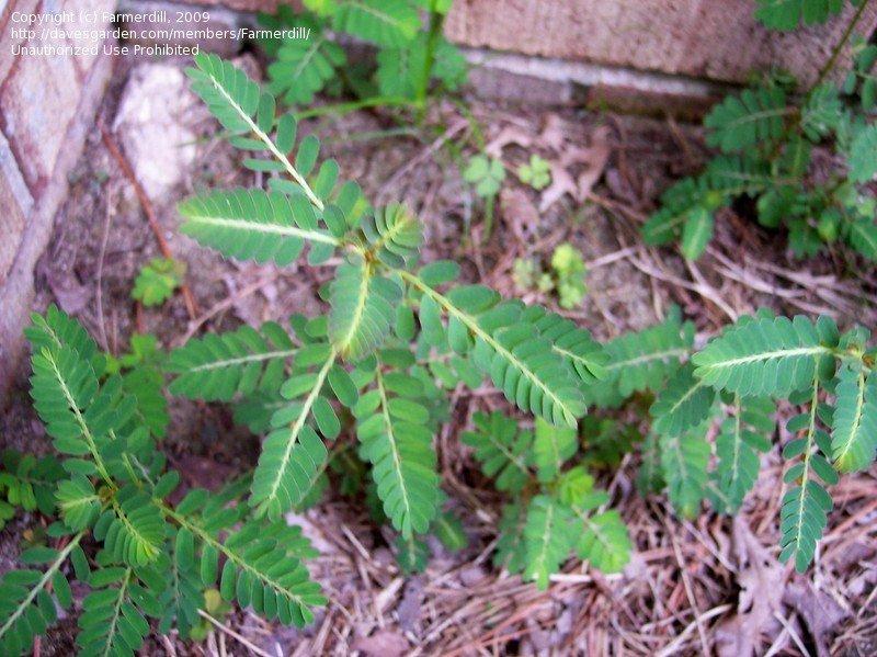 Mimosa Plants Look