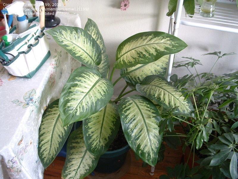Indoor Gardening And Houseplants: Dieffenbachia With