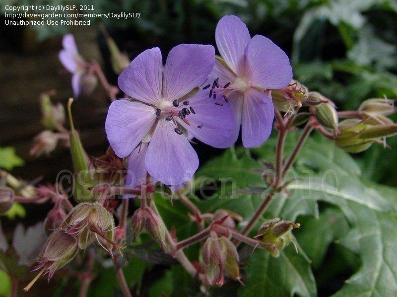Plantfiles Pictures Hardy Geranium Meadow Cranesbill