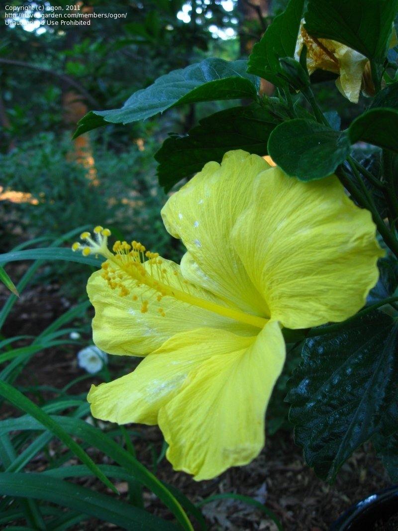 White Bright Yellow Single Blooms Glossy Green Plantfiles Tropical