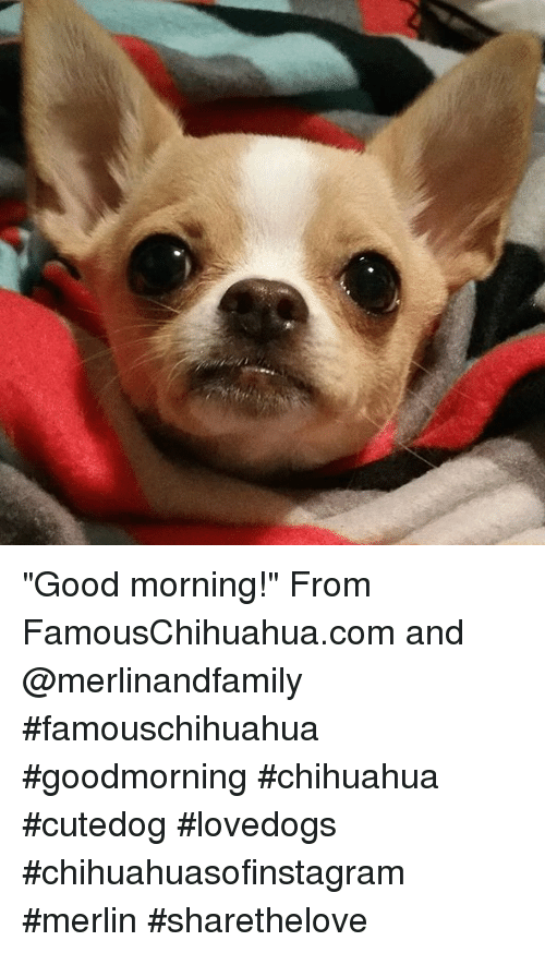 Applehead Chihuahua 2 Cheezburger Funny Memes Funny Pictures