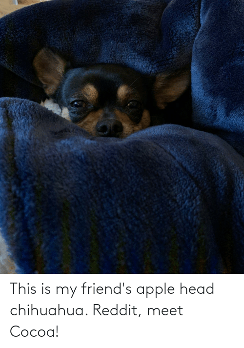 The Teacup Chihuahua Answering Your Questions About The Smallest