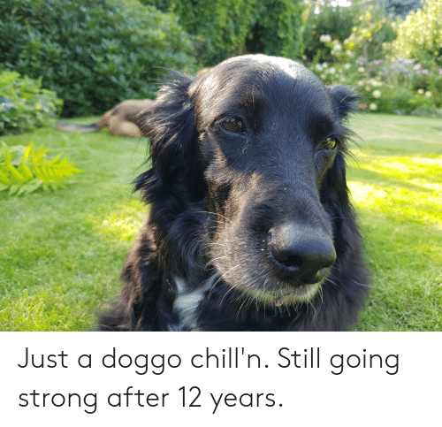 Just A Doggo Chill N Still Going Strong After 12 Years Strong