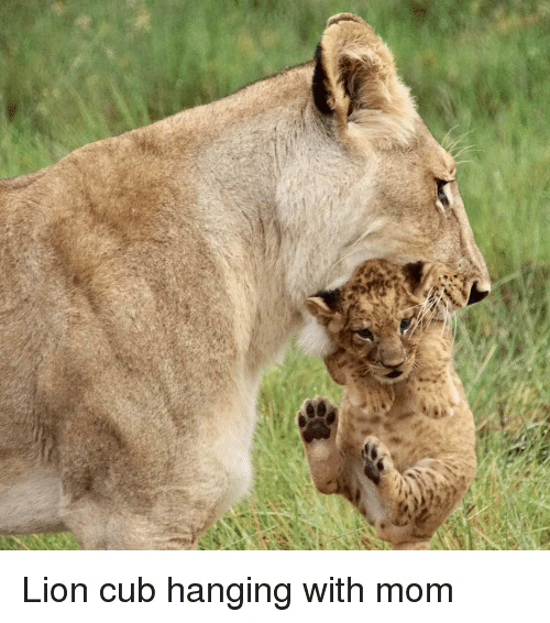 Lion Cubs Memes Gifs Imgflip