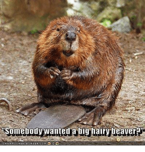 Memes  F0 9f A4 96 And Beaver Somebody Wanted A Big Hairy Beaver Ican Haschee2eu Rger