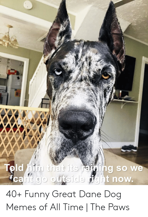 Told Him That Its Raining So We Cant Go Outside Right Now 40 Funny Great Dane Dog Memes Of All Time The Paws Funny Meme On Me Me