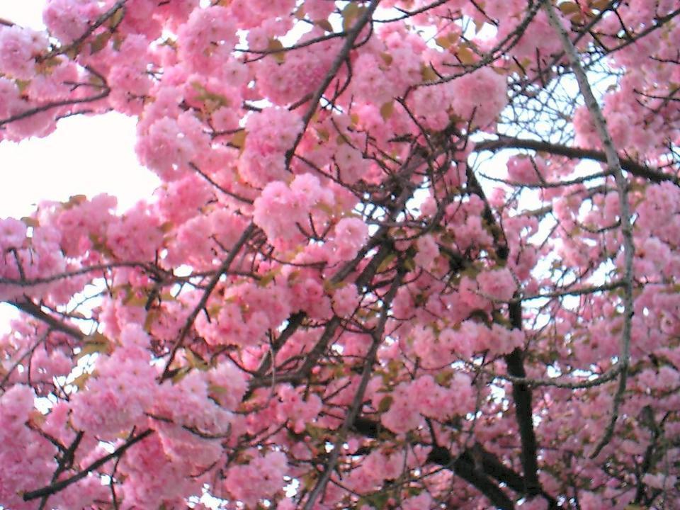 Belleville Nj Belleville Cherry Blossoms Up Close