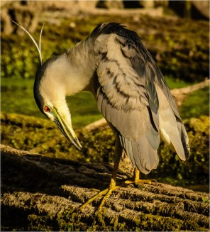 BC Night Heron66