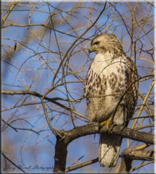 Coppers Hawk (28)