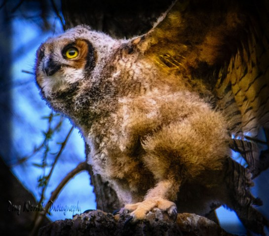 Great Horned-owlets (35)