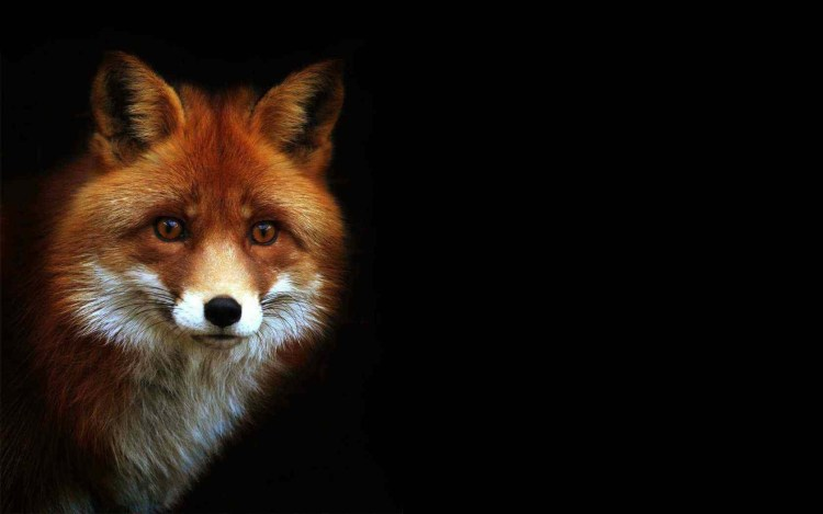a-lovely-fox-on-a-black-background-wallpaper