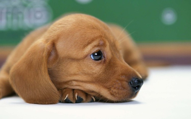 a-lovely-brown-dog-seems-sad-hd-wallpaper