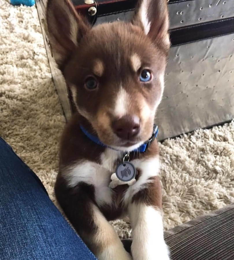 Adorable Cute Brown Husky Baby Dog Playing With Owner At Home