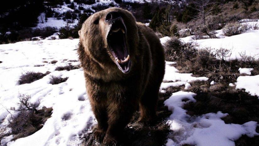 Amazing Angry Bear Full Hd Wallpaper