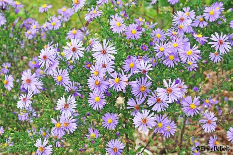 Amazing Blue Aster Flowers For Someone Special