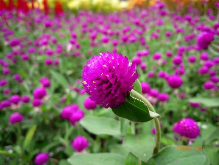 Amazing Close Up View Of Many Purple Globe Amaranth Flowers Plants With Green Leafs