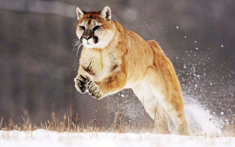 amazing-mountain-lion-running-wallpaper