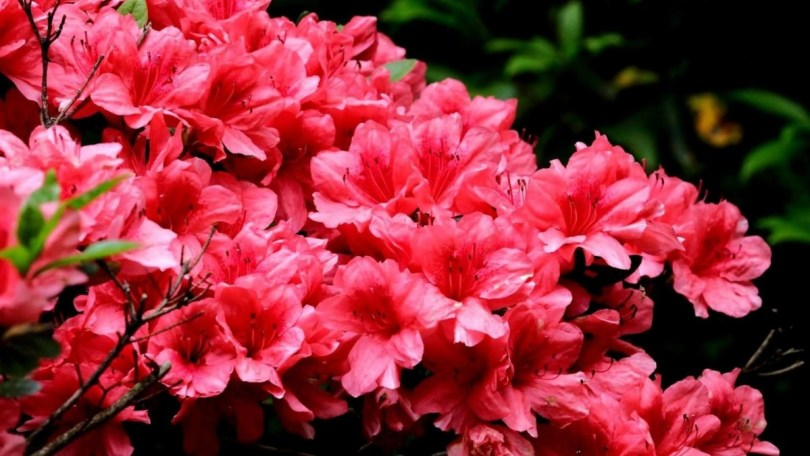 Amazing Red Azalea Flowers In Plants
