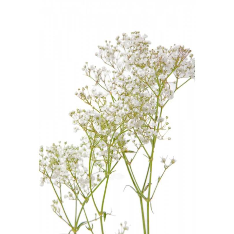 Amazing White Baby's Breath Flower Plant Wallpaper