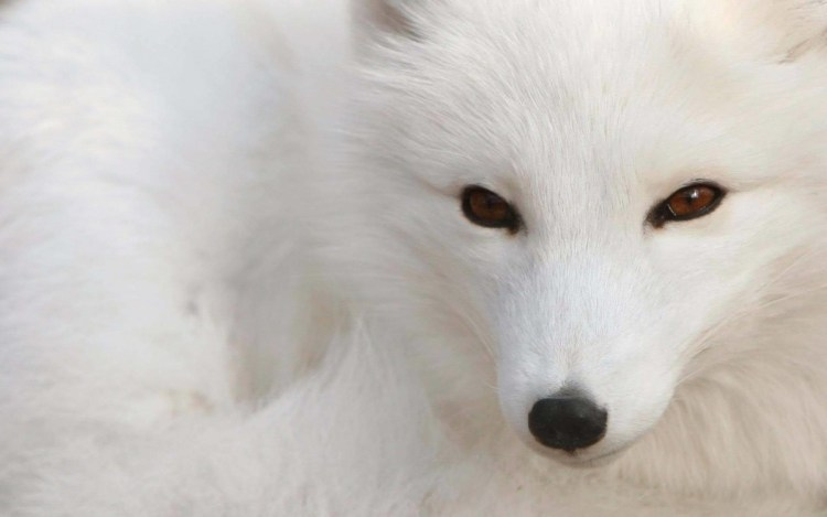 Amazing White Fox Face With Brown Eyes 4k Wallpaper