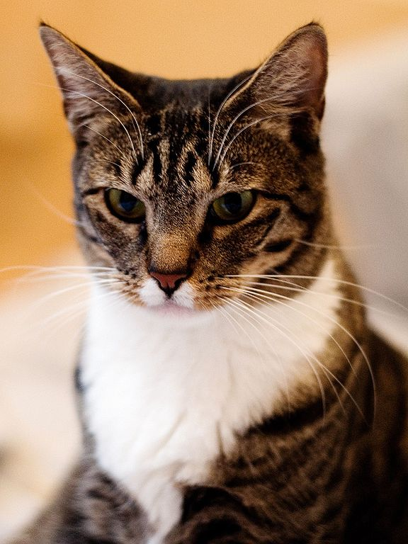 Angery female American Shorthair Cat With angery Eyes