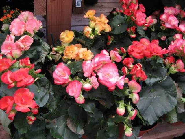Atteactive Colorful Begonia Flower For Your Home Decoration