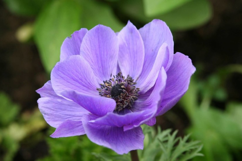 Attractive Flower Purple Anemone In My Back Yard Plant