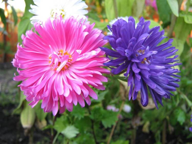 Attractive Pink And Blue Aster Flower For Wishing Someone