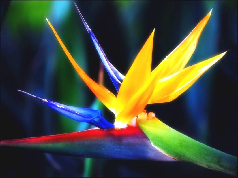 Awesome Blue And Yellow Bird Of Paradise Flower With Beautiful Background
