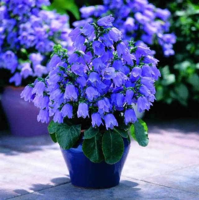 Awesome Blue Bellflowers For Home Decoration