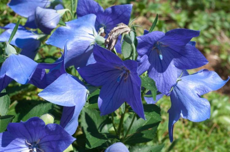 Awesome Blue Bellflowers With Green Leafs