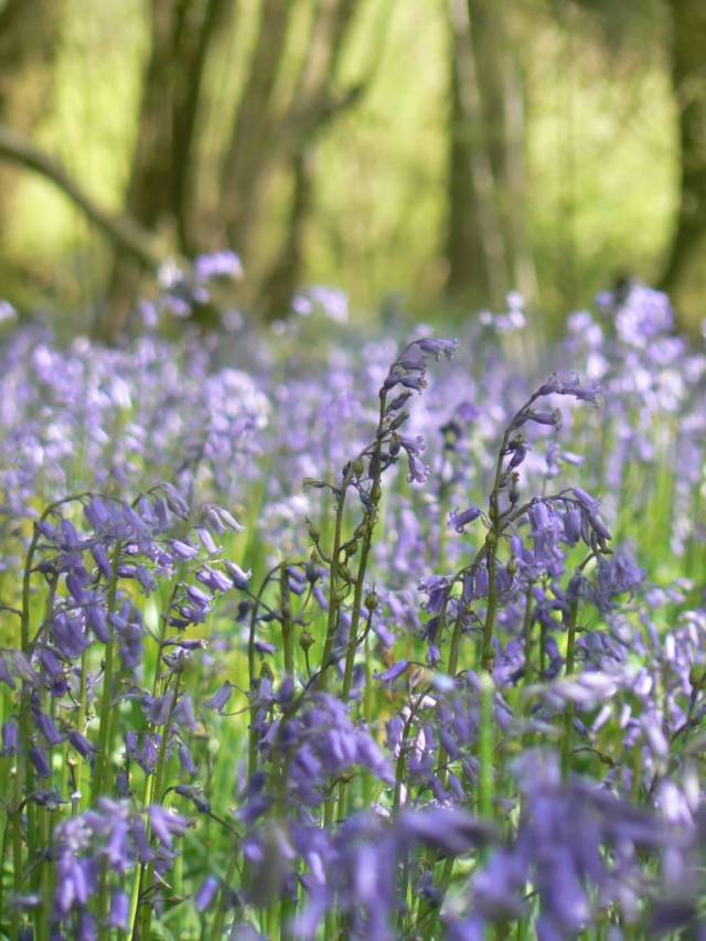 Awesome Bluebell Flower Plant Wallpaper