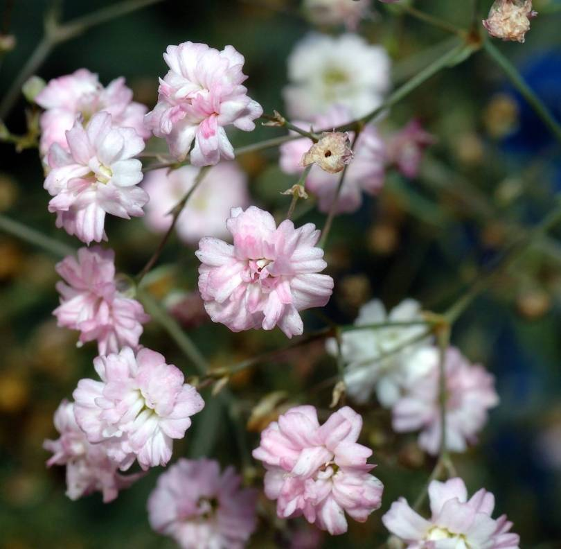 Awesome Pink Baby's Breath Flowers in plants