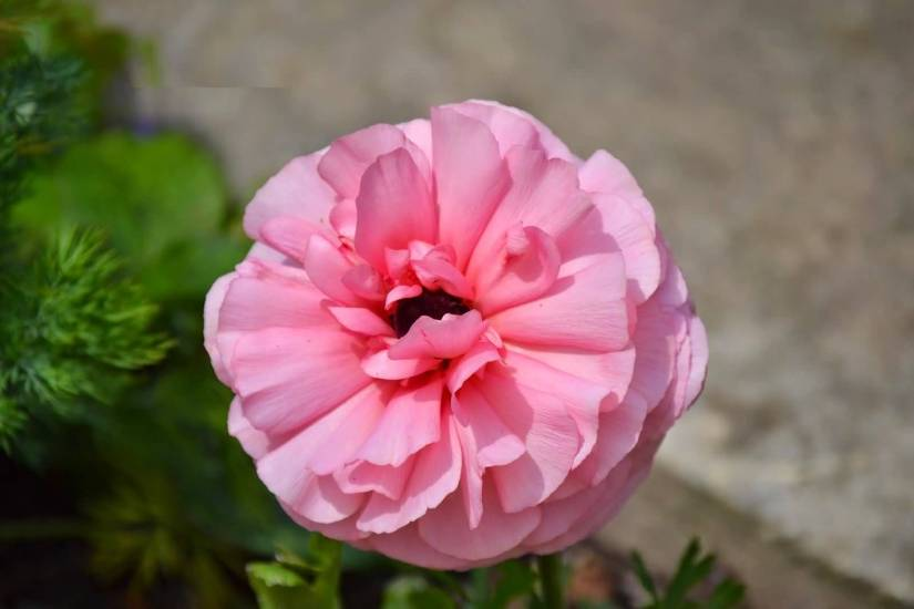 Awesome Pink Persian Buttercup Flower With Green Leafs