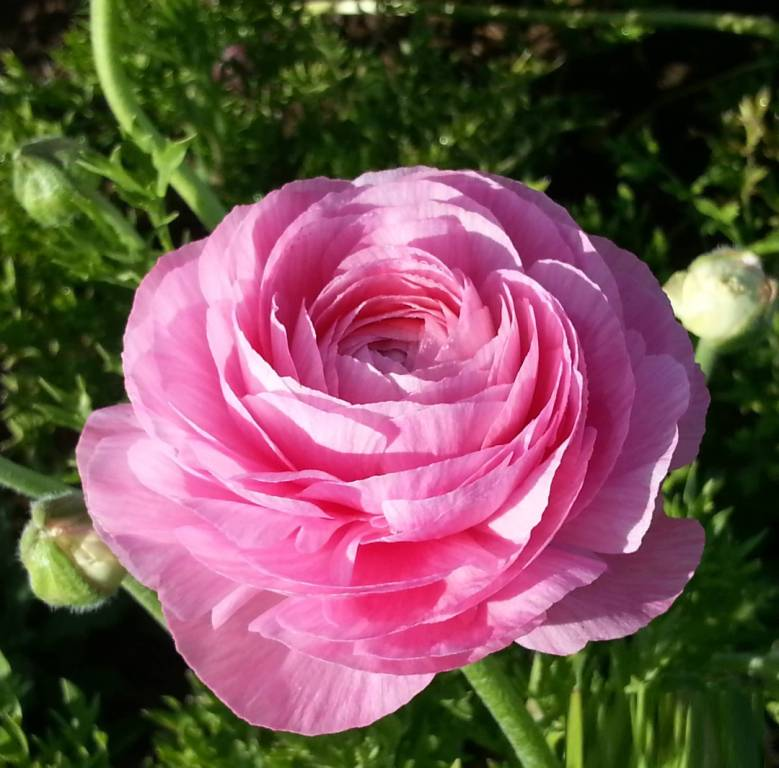 Awesome Pink Persian Buttercup With Green Leafs