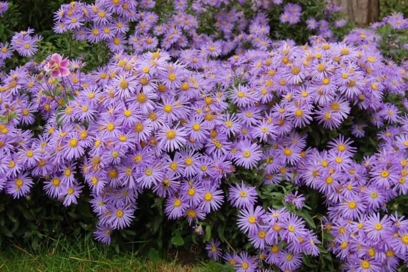 Awesome Purple Aster Flower For Wedding Decoration