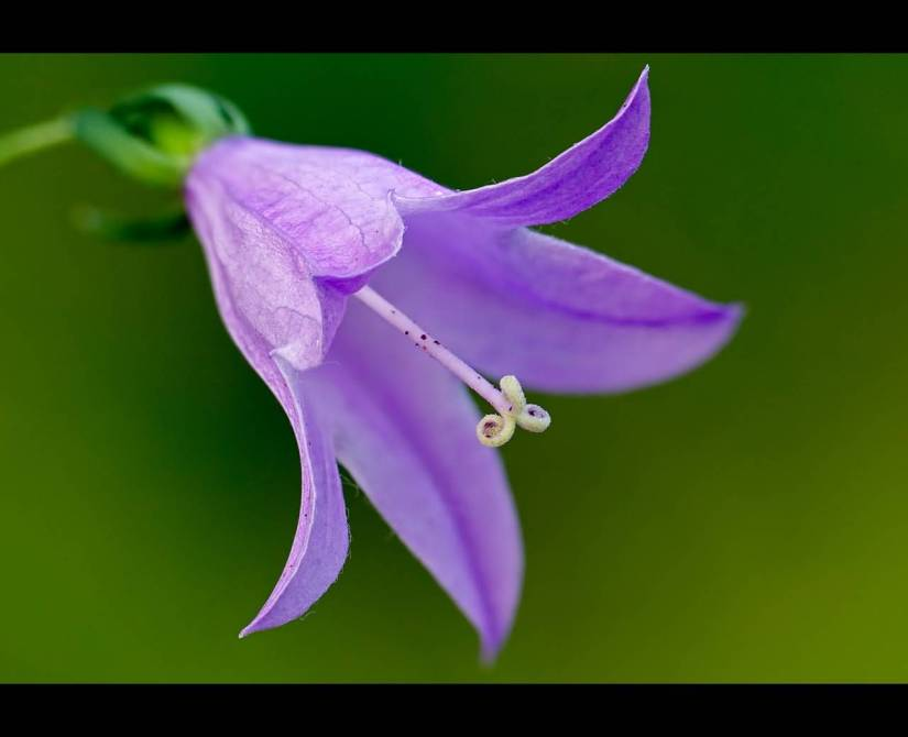 Awesome Purple Bellflower With Green Background
