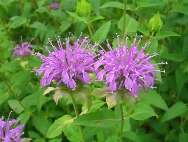 Awesome Purple Bergamot Flower Plants With Green Combination