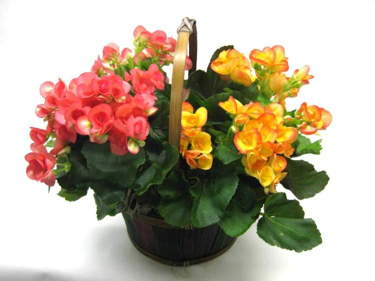 Awesome Red And Yellow Begonia Flower With Green Leafs