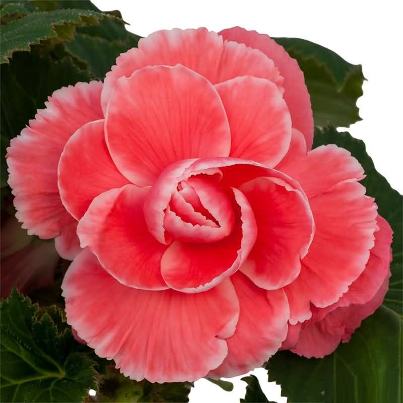 Awesome Red Begonia Flower For Someone Special