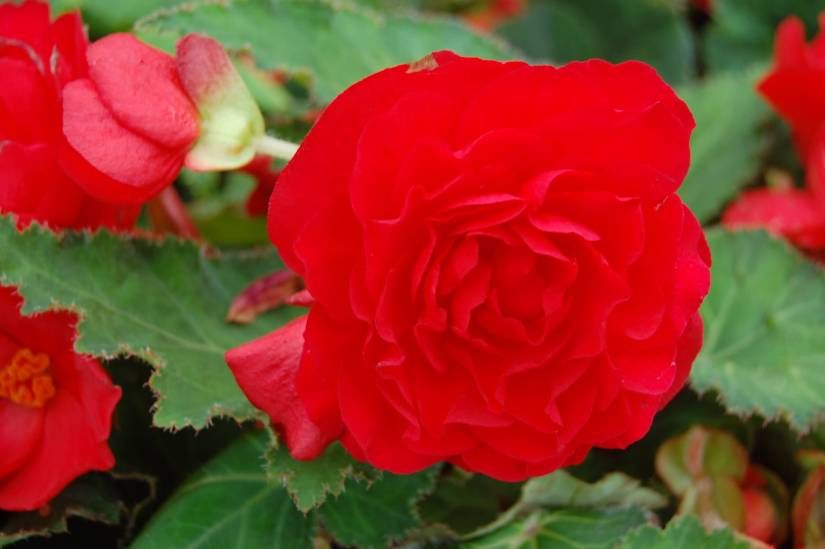 Awesome Red Begonia Flower With Green Combination