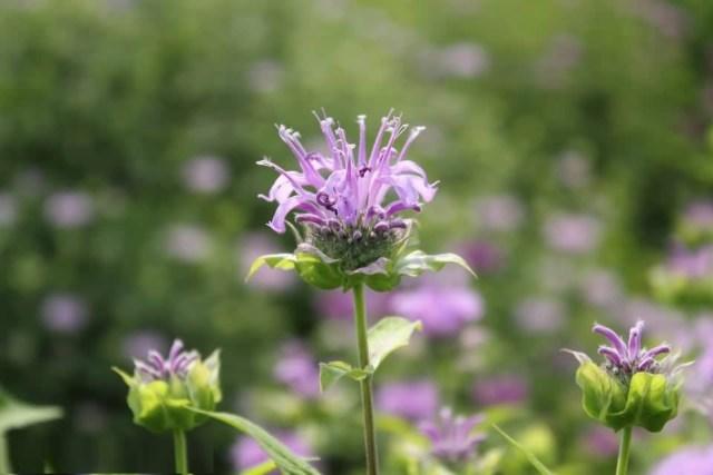 Awesome Wild Bergamot Flower Plant For Decoration