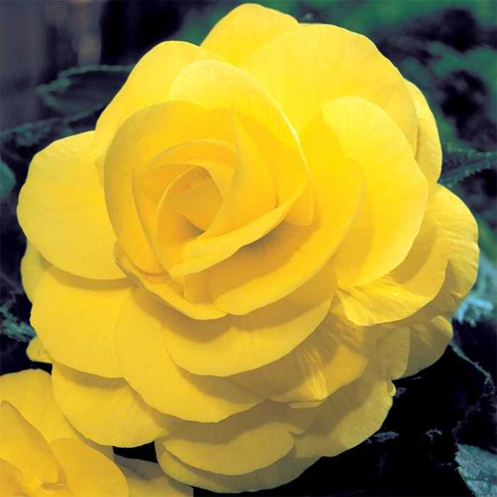 Awesome Yellow Begonia Flower Plant For Desktop