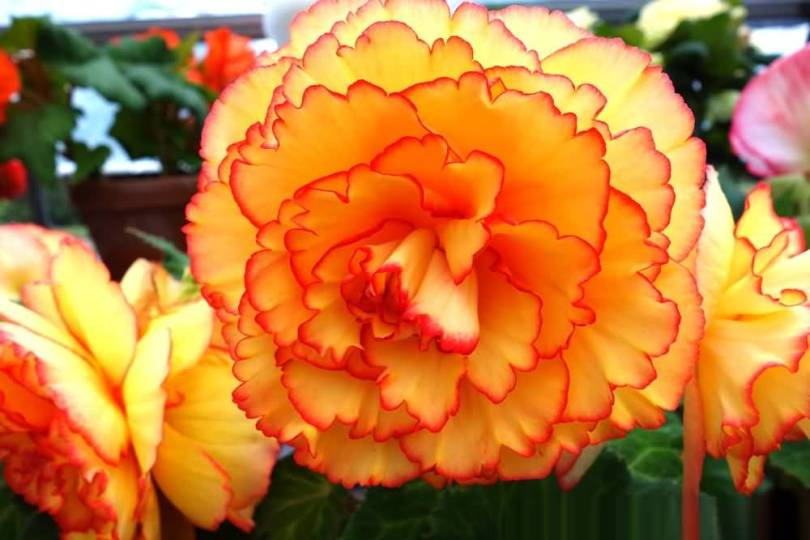 Awesome Yellow Begonia Flowers With Leafs